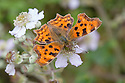 Comma Butterfly {Polygonia c-album} feeding on bramble flowers, Oxfordshire, UK. July.