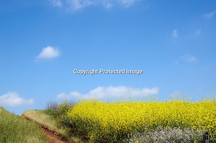 stock photo Beautiful field of Mustard Plants