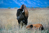 610650003 a wild bison mother bison bison stands in open grassland with its young kid in grand tetons national park wyoming