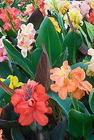 Canna flowers and leaves, many plants