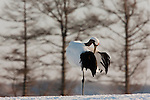 Red-crowned Crane, Japan (Endangered)