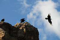 Turkey vultures in Superior, Arizona