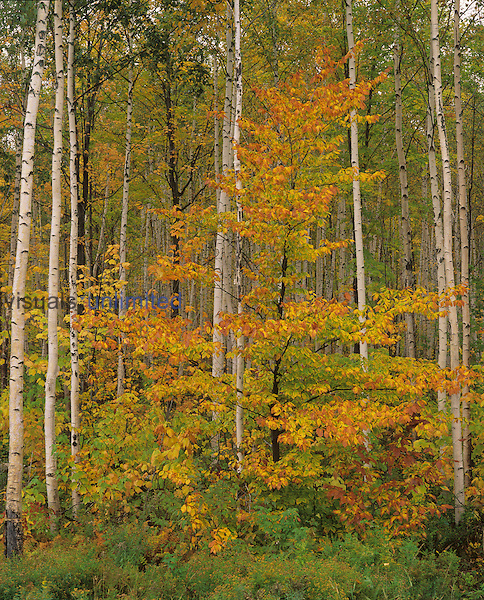American Beech ,Fagus grandifolia, and Paper Birch ,Betula papyrifera, in the fall, White Mountains National Forest, New Hampshire, USA.