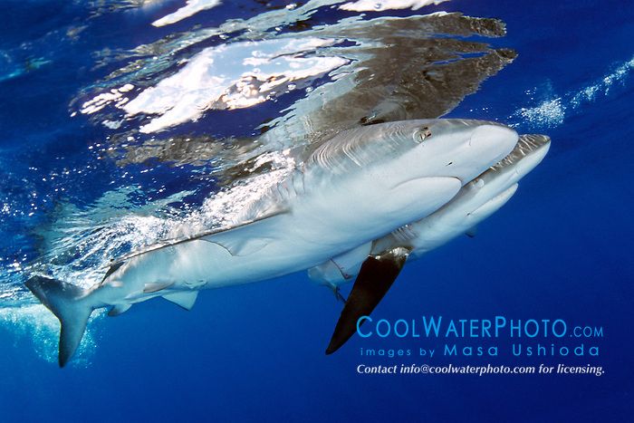 Galapagos sharks, .Carcharhinus galapagensis, .North Shore, Oahu, Hawaii (Pacific).