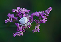 Crab spider on statice (Limonium gmelinii  spp. hungaricus) in Hortobagy National Park, Hungary