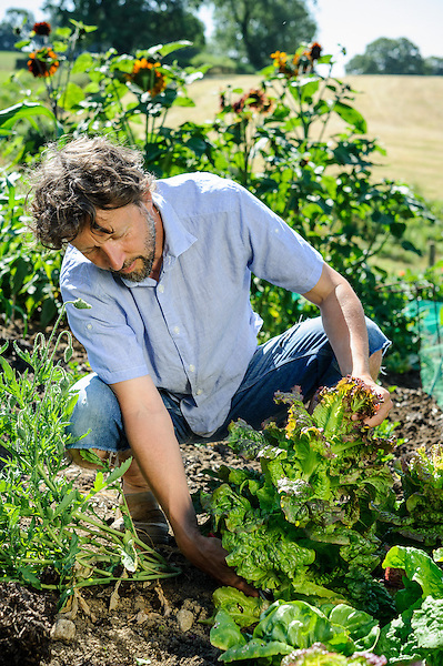 Harvesting Lettuce 'Lollo Rossa'