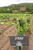 syrah vines