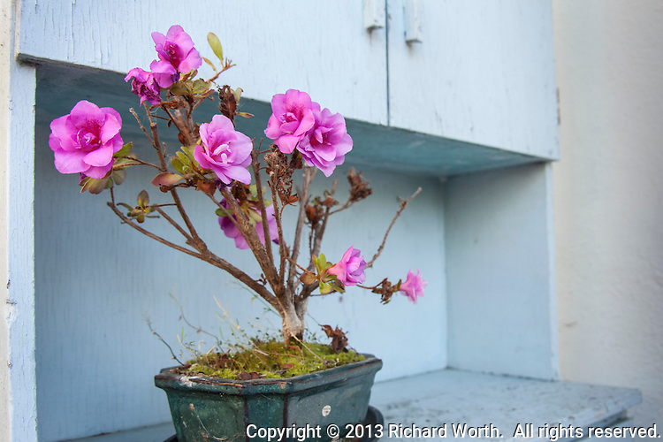 A bonsai's blossoms nearly outnumber its leaves.  Sheer botanical determination may have lead this plant to defy the usual progression from dormant, through foliage to flowers.  It skipped a step and went straight to flowers.