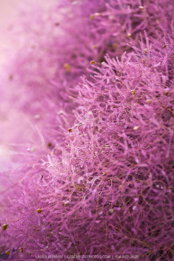 Purple Smoke Bush (Cotinus coggygria)