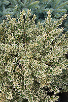 Buxus sempervirens 'Variegata' English Boxwood Shrub