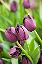 Purple-black tulip 'Queen of the Night' (Single Late Group), mid May.