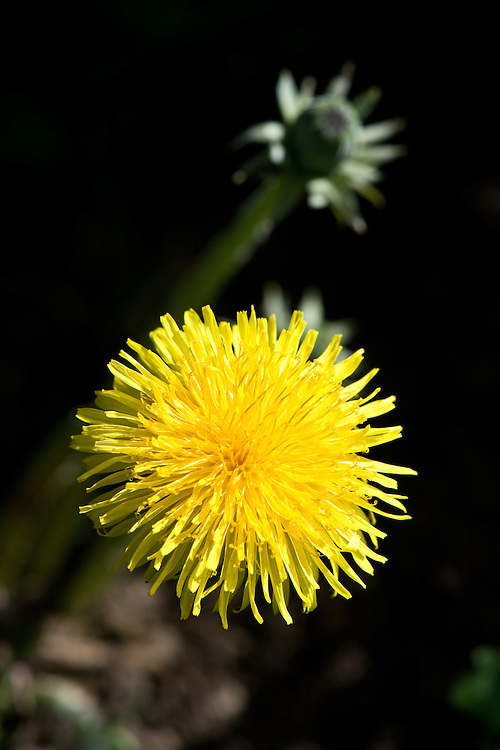 Common dandelion (Taraxacum officinale), end April.