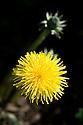 Common dandelion (Taraxacum officinale), end April.