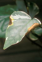 Bacterial leaf spot disease in ivy (Hedera) leaf