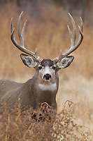 Trophy mule deer buck (Odocoileus hemionus)in Colorado