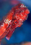 Facial view of a Longsnout seahorse (Hippocampus reidi)