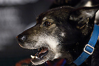 A sled dog waits for the start of the UP 200 Sled Dog Championship race in downtown Marquette Michigan.