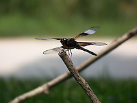 Dragonfly in perfect pose