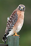 Red Shouldered Hawk, Buteo lineatus, perched on fence post, Florida Everglades.USA....