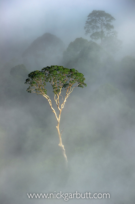 Emergent Menggaris Tree (Koompassia excelsa) protruding from mist and low cloud hanging over Lowland Dipterocarp Rainforest, just after sunrise. Heart of Danum Valley, Sabah, Borneo.