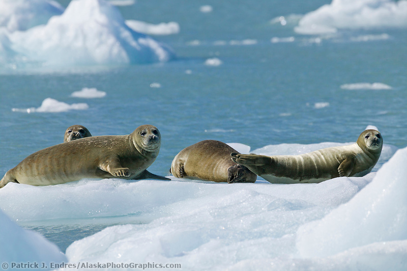 Harbor seals on glacier icebergs, Nassau fjord, Chenega glacier, Western Prince William Sound, Alaska