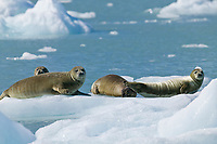 Harbor seals on glacier icebergs, Nassau fjord, Chenega glacier, Western Prince William Sound, Alaska