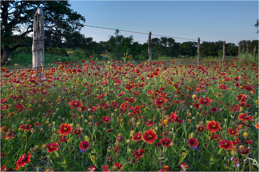 Along a fencepost in the Texas Hill Country, bluebonnets have given way to a sea of red Texas Wildflowers - Indian Blankets. I arrived at this location to shoot the field across the road from here, but while waiting for the sun to set, I noticed a nice patch of these firewheels along a barbed wire fence with wooden fence posts. This Texas Wildflower image was captured near sunset in Llano County in the Texas Hill Country