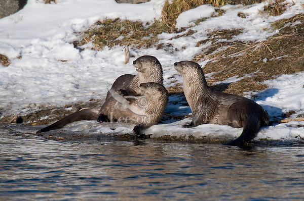 Northern River Otter (Lontra canadensis) along icy river bank.