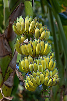 Banana is the common name for herbaceous plants of the genus Musa and for the fruit they produce.