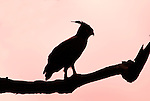 Crowned Eagle, Stephanoaetus coronatus, Ethiopia, perched high in tree, silhouette, sunset.Africa....