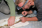 Taking Blood Sample From Crocodile