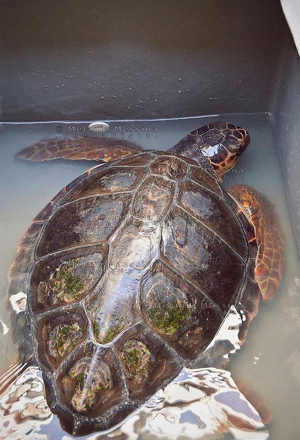 Una tartaruga caretta caretta, dopo essere stata curata, prima di essere liberata a mare dai volontari del WWF.<br /> A loggerhead sea turtle, after being cured and before being freed into the sea by WWF volunteers
