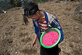 Black Hmong girl planting maize, Sapa, Vietnam.
