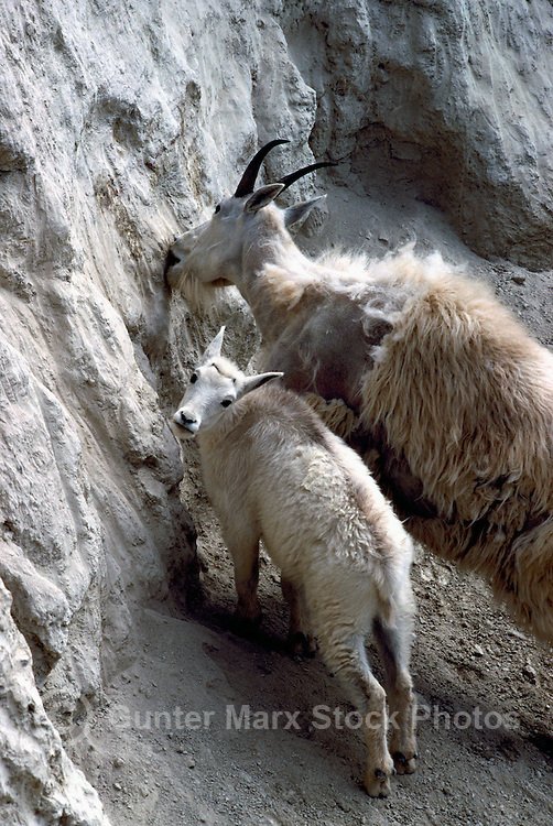 Mountain Goat Nanny and Kid (Oreamnos americanus), aka Rocky Mountain Goats, licking Salt at Mineral Lick, Yoho National Park, BC, British Columbia, Canada