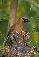Cedar Waxwing (Bombycilla cedrorum) Nest