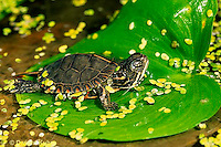 1R13-042z  Painted Turtle - young sunning itself on lily pad - Chrysemys picta