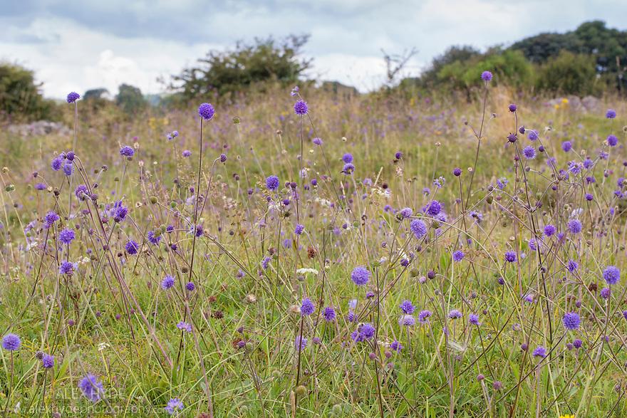 Devil's-bit Scabious {Succisa pratensis} growing in calcareous grassland. Peak District National Park, Derbyshire, UK. August.