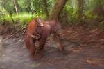 Bornean Orangutan (Pongo pygmaeus wurmbii) - mother and baby in motion blur