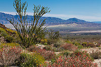 Desert landscape with Ocotillo and Chuparosa, Yaqui Meadow, California native plant Anza Borrego State Park; superbloom wildflower display 2017