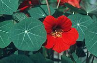 Tropaeolum 'Empress of India' (GR657) (Nasturtium) red flowers and foliage, annual plant