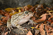 Ranger's Toad (Amietophrynus rangeri), South Africa
