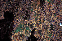Thousands of hibernating butterflies blanket the branches of a tree in the El Bosario Monarch Butterfly Sanctuary, Michoacan, Mexico