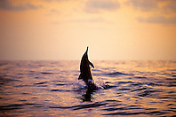 long-snouted spinner dolphin jumping at sunset, Stenella longirostris, Kona, Big Island, Hawaii, Pacific Ocean