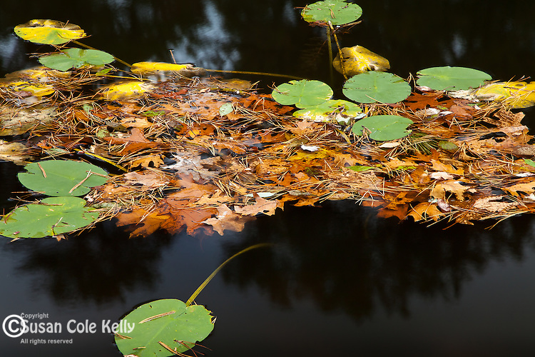 A small pond in Nickerson State Park, Brewster, Cape Cod, MA, USA