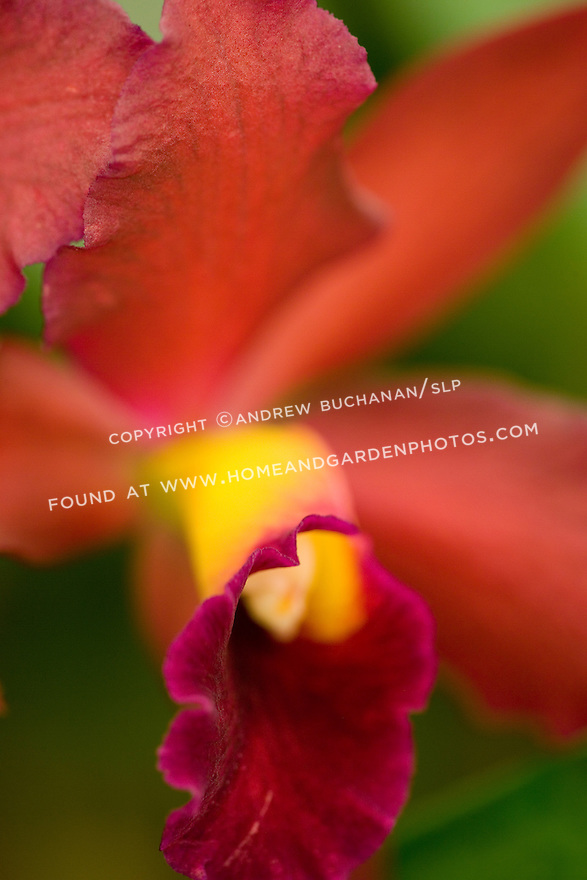 Macro detail shot of the  deep red petals and yellow throat of the orchid, Slc. Tutankamen 'Pop'.