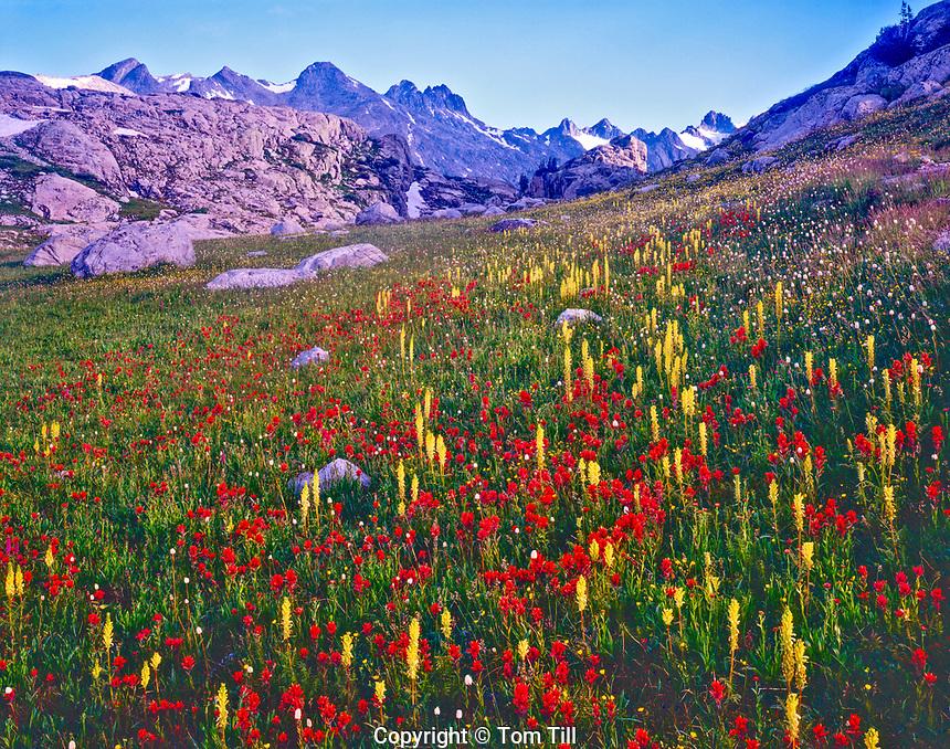 Wildflowers in Titcomb Basin, Bridger Wilderness, Wind River Range, Bridger / Teton National Forest, Wyoming Indian paintbrush