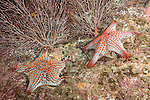 Sea of Cortez, Baja California, Mexico; a pair of Panamic Cushion Star (Pentaceraster cumingi) sitting on the rocky reef