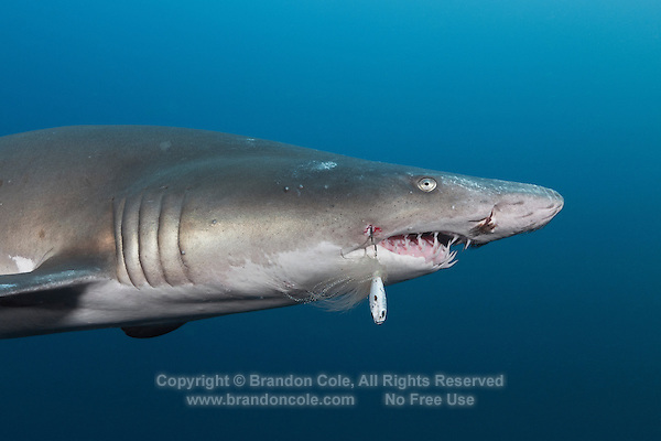 TP0631-Dr. Sand Tiger Shark (Carcharias taurus), note fishing lure on the hook piercing its cheek. These sharks are now protected in many places after numbers crashed due to overfishing. In US waters, fishing for them is currently prohibited, buy some are still hooked by fishermen jigging for grouper and other fish on the wrecks off North Carolina, and some sharks die. This one will probably survive. North Carolina, USA, Atlantic Ocean.<br /> Photo Copyright &copy; Brandon Cole. All rights reserved worldwide.  www.brandoncole.com