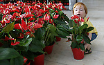 Foto: VidiPhoto<br /> <br /> DEN HAAG &ndash; Een opmerkelijke actie in het HagaZiekenhuis in Den Haag maandag. Samen met Anthuriumkwekers en vrijwilligers van de Hartstichting legt de afdeling cardiologie  twee reusachtig harten van duizenden rode Anthuriumbloemen- en planten. Daarmee vraagt het ziekenhuis aandacht voor hart- en vaatziekten bij vrouwen en zamelt ze tegelijkertijd geld in voor de Hartstichting. Iedereen die ter plekke een donatie doet (groot of klein) krijgt als dank gratis een boeketje of kamerplant mee. De Anthurium heeft een kenmerkend hartvormige bloem. Kwekers hebben de bloemen en planten gratis aangeboden zodat de volledige opbrengst ten goede komt aan de Hartstichting. Tot en met eind september verkopen tuincentra, supermarkten en bloemisten ook Anthuriums ten behoeve van de Hartstichting.