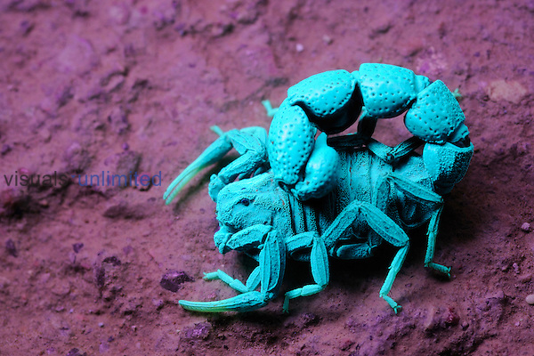 Scorpion under UV light (Orthochirus bicolor), Socotra, Yemen. (Compare with 3034377 under normal light)